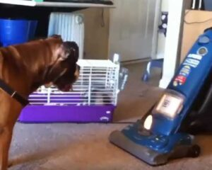Why do dogs hate vacuums